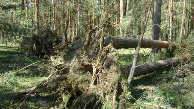 Ущерб лесным экосистемам ветровалами
