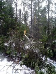 Снеговал в лесу