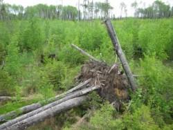 Ветроустойчивость леса